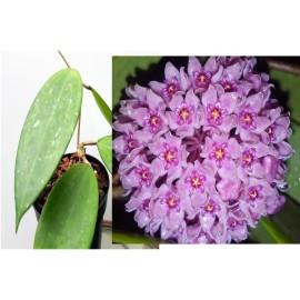 Hoya hanhiae pink