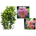 Hoya heuschkeliana pink