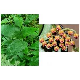 Hoya plicata