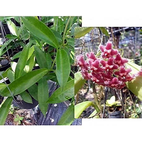 Hoya publicalix pink dragon