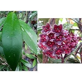 Hoya publicalyx royal hawaian
