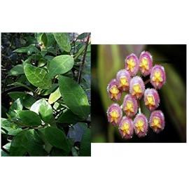 Hoya rebecca