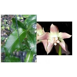 Hoya imperialis palawan