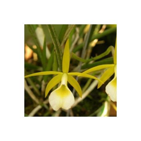 Brassavola reginae