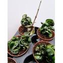 Hoya carnosa compacta rassuta