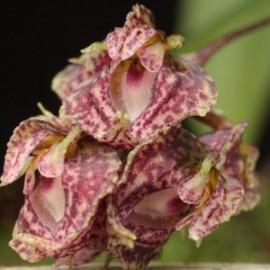 Bulbophyllum bisetum