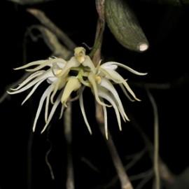Bulbophyllum brevipes