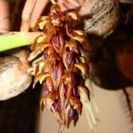 Bulbophyllum dixonii