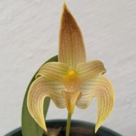 Bulbophyllum piestoglossum