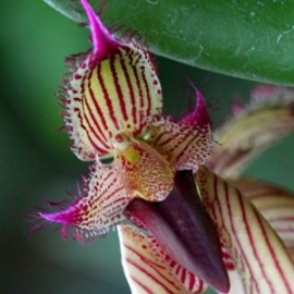 Bulbophyllum putidum 'Fascinator'