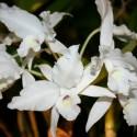 Cattleya skinnerii semi- alba