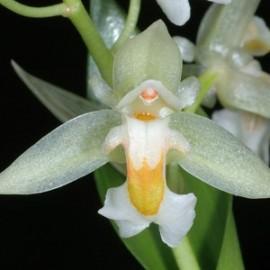 Chelonistele sulphurea