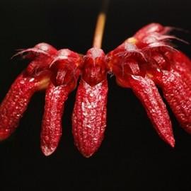 Cirrhopetalum corolliferum