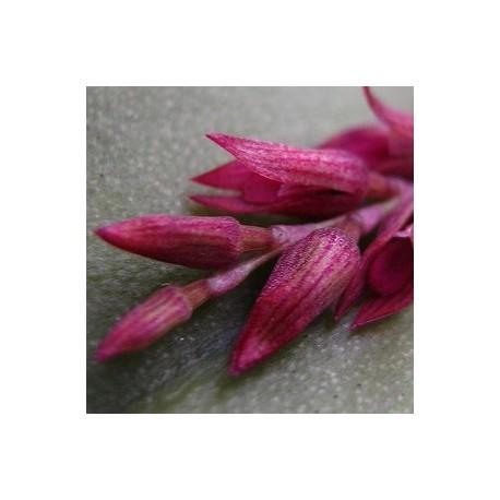 Acianthera modestissima
