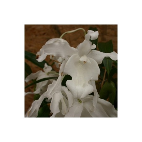 Coelogyne cristata 'Lololeuca'