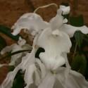 Coelogyne cristata 'hololeuca'