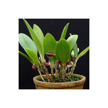 Cryptophoranthus schenkii