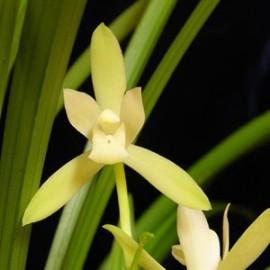 Cymbidium ensifolium 'Alba' 'Iron Bone Sue Sing'