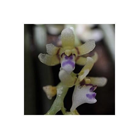 Saccolabium odoratissimum