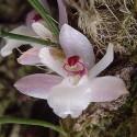 Isabelia virginalis