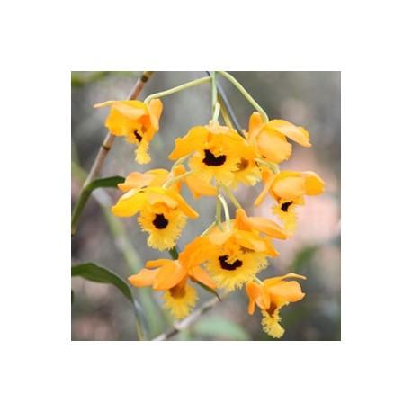 Dendrobium fimbriatum 'Oculatum'