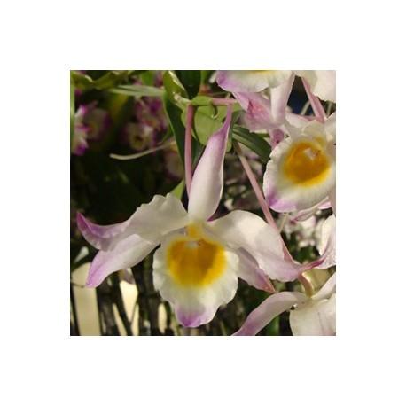 Dendrobium findleyanum
