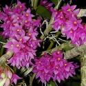 Dendrobium miyakei