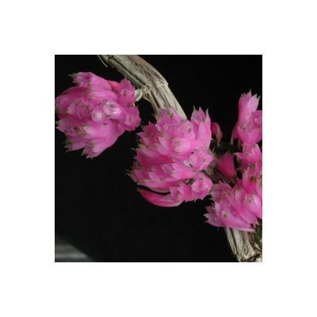 Dendrobium purpureum 'Red'