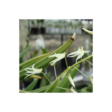 Dendrobium wallisii