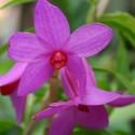 Dendrobium sulawesiense