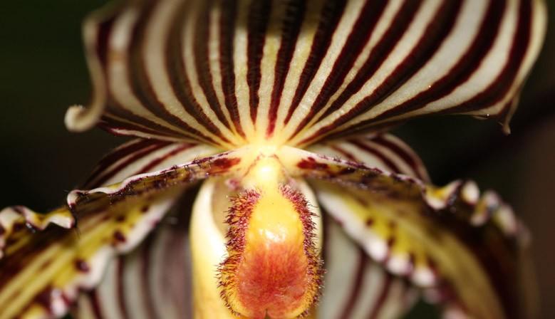Orchidées Hybrides